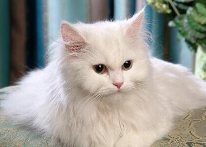 波斯猫多少钱一只?应该怎么选购波斯猫?