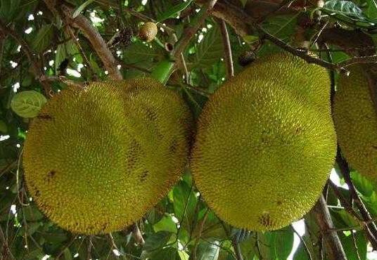 菠萝蜜长在哪里的?几月份成熟?菠萝蜜的功效作用和禁忌是什么